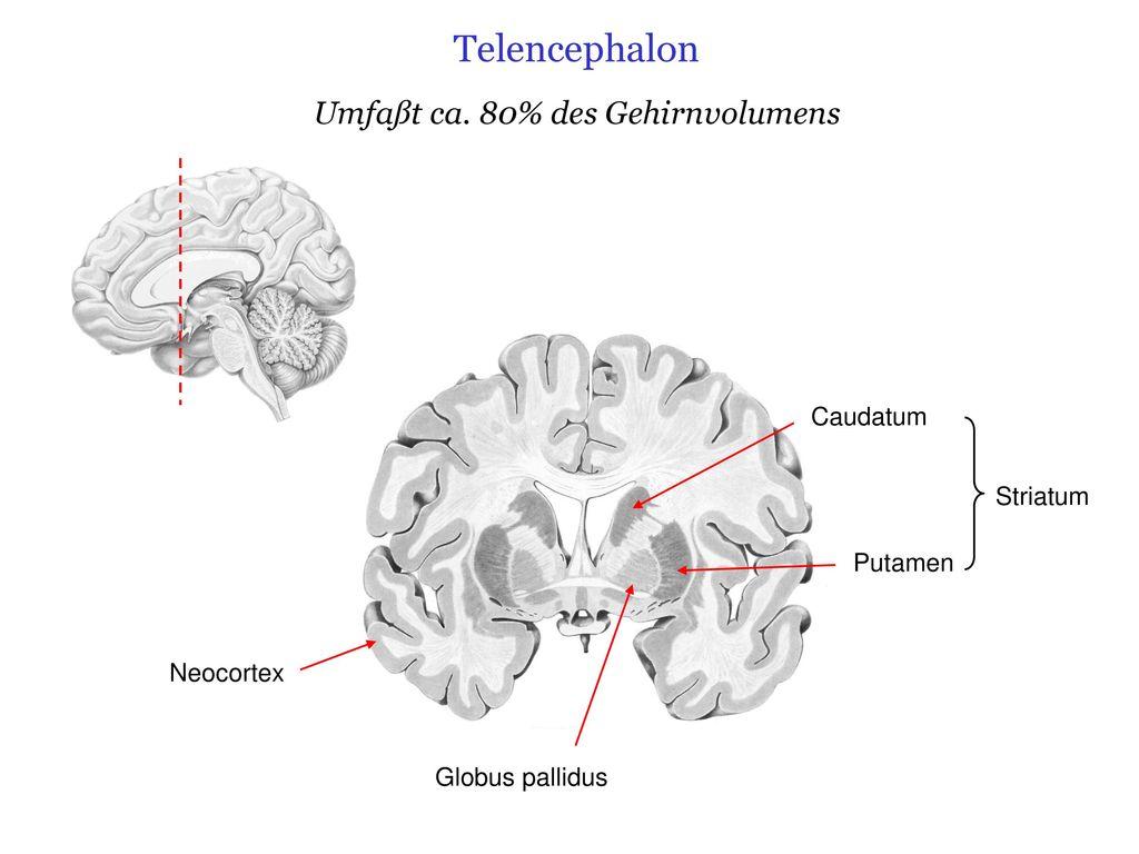 Ausgezeichnet Die Anatomie Des Gehirns Fotos - Anatomie Ideen ...