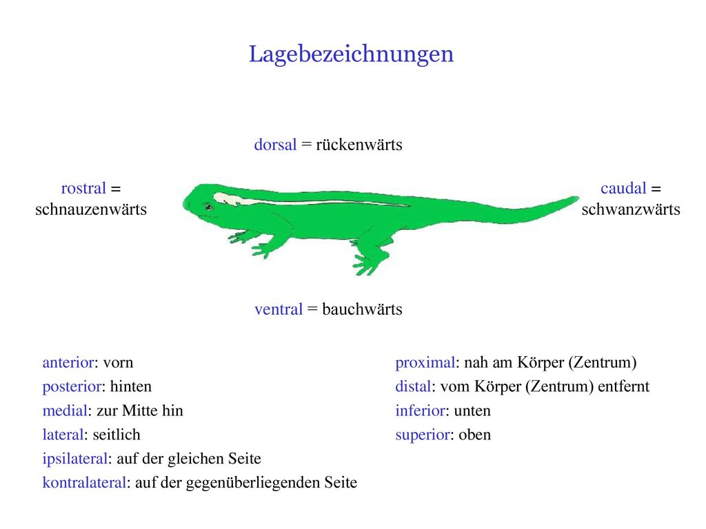 Fantastisch Baumast Anatomie Ideen - Menschliche Anatomie Bilder ...