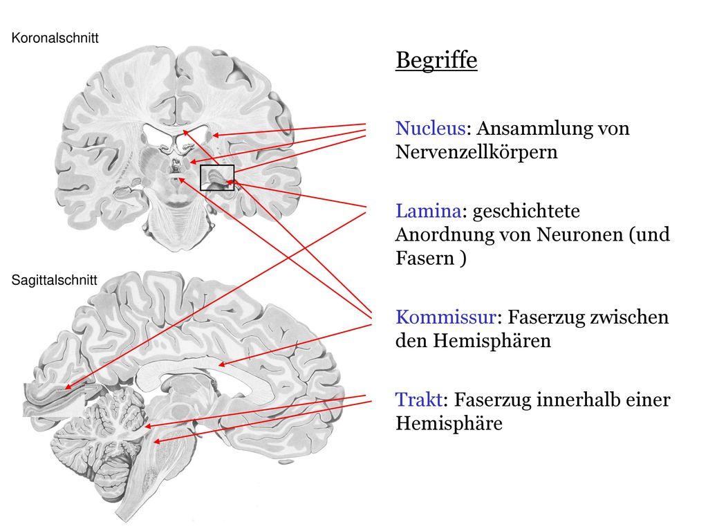 Großzügig Das Gehör Anatomie Physiologie Und Klinische Korrelate ...