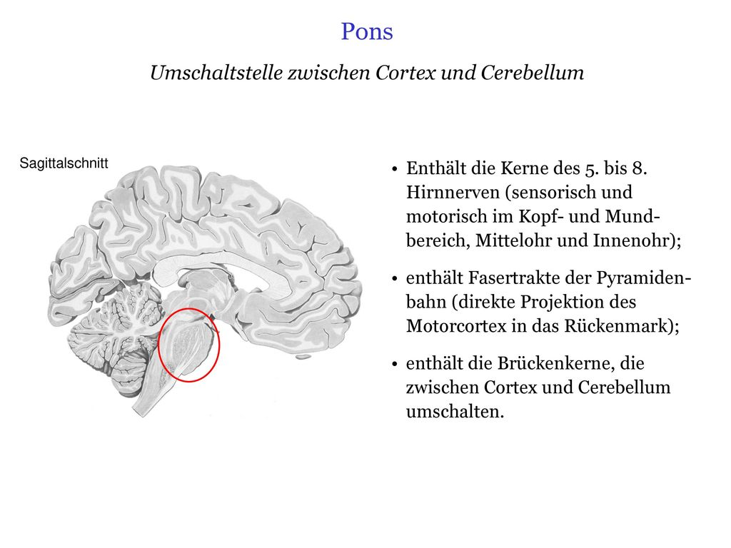 Ziemlich Anatomie Und Physiologie Des Gehirns Und Der Hirnnerven ...