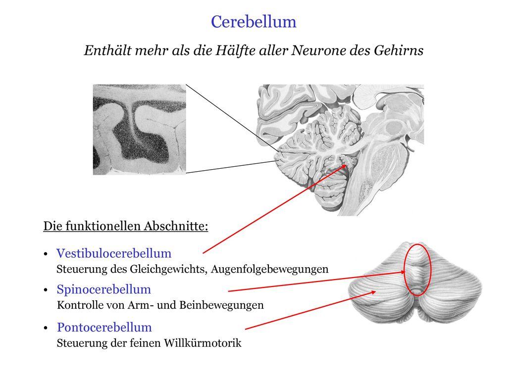 Ungewöhnlich Anatomie Des Zns Galerie - Anatomie Und Physiologie ...
