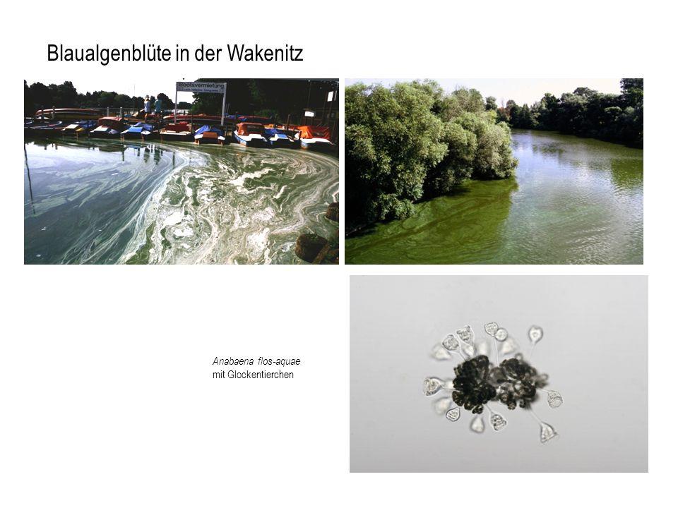 Blaualgenblüte in der Wakenitz