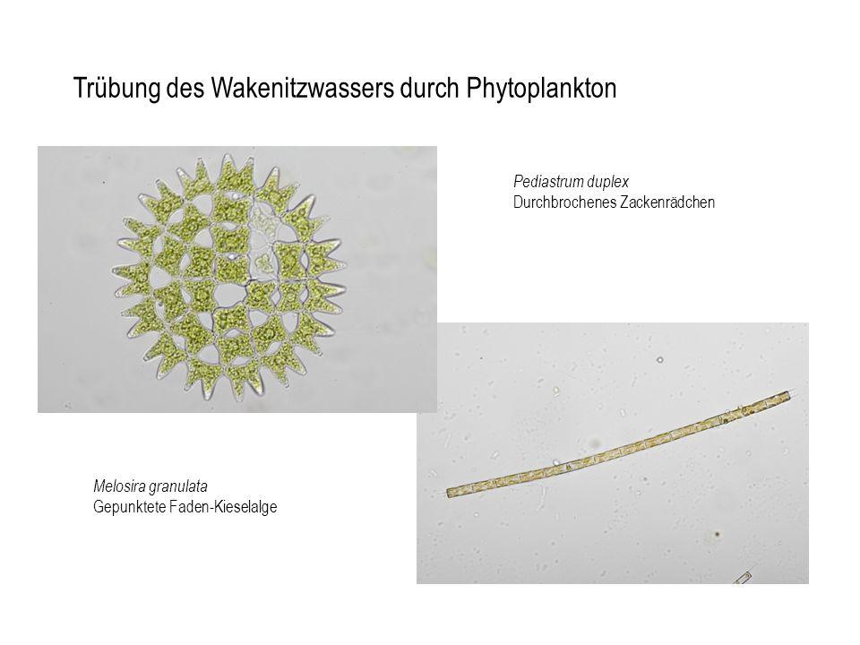 Trübung des Wakenitzwassers durch Phytoplankton