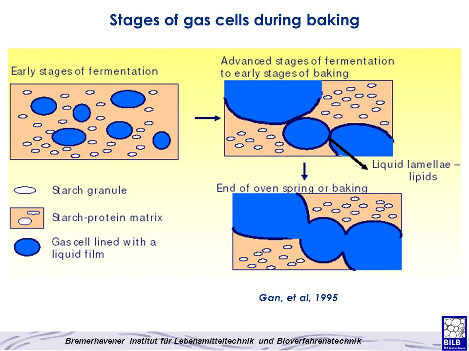Stages of gas cells during baking