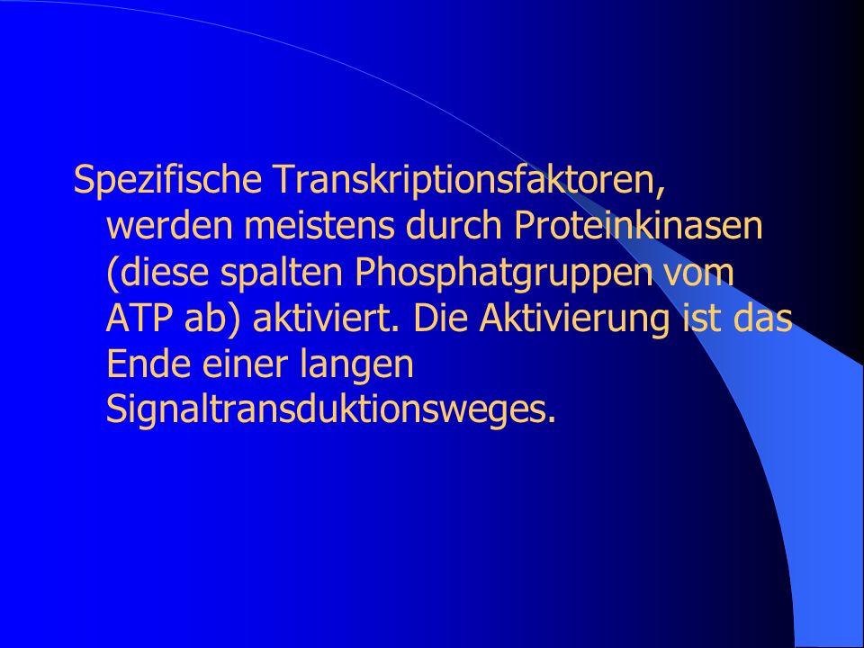 Spezifische Transkriptionsfaktoren, werden meistens durch Proteinkinasen (diese spalten Phosphatgruppen vom ATP ab) aktiviert.