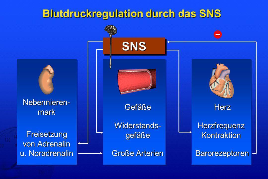 Blutdruckregulation durch das SNS