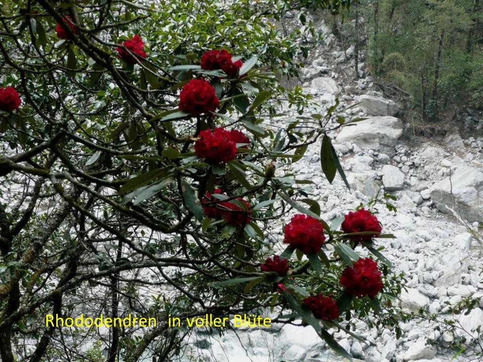 Rhododendren in voller Blüte