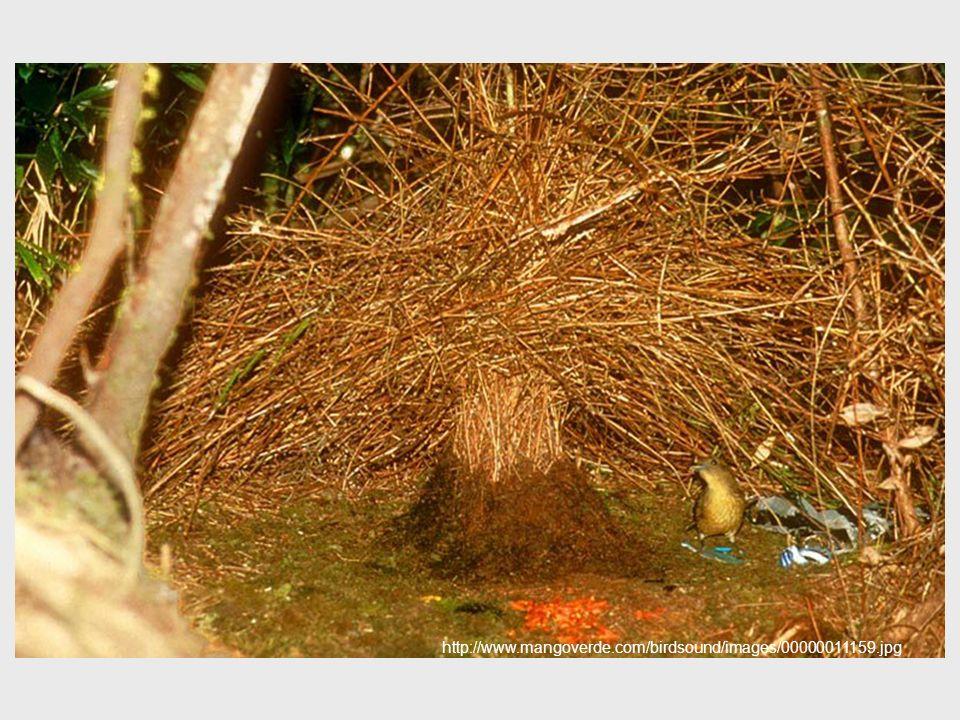 http://www.mangoverde.com/birdsound/images/00000011159.jpg