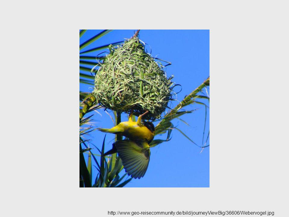 http://www.geo-reisecommunity.de/bild/journeyViewBig/36606/Webervogel.jpg