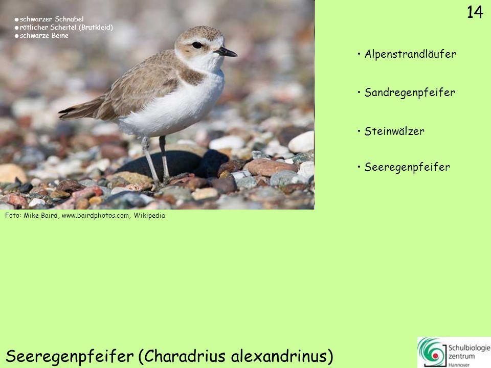 ♀ ♂ 15 Schellente (Bucephala clangula) Schellente Eiderente Stockente