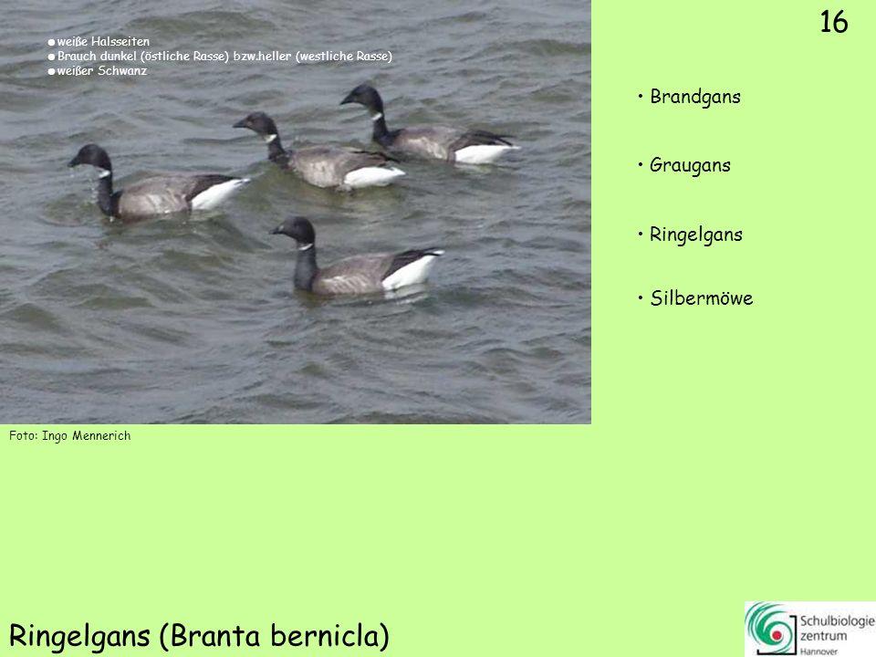 ♂ ♀ 17 Löffelente (Anas clypeata) Stockente Löffelente Schellente
