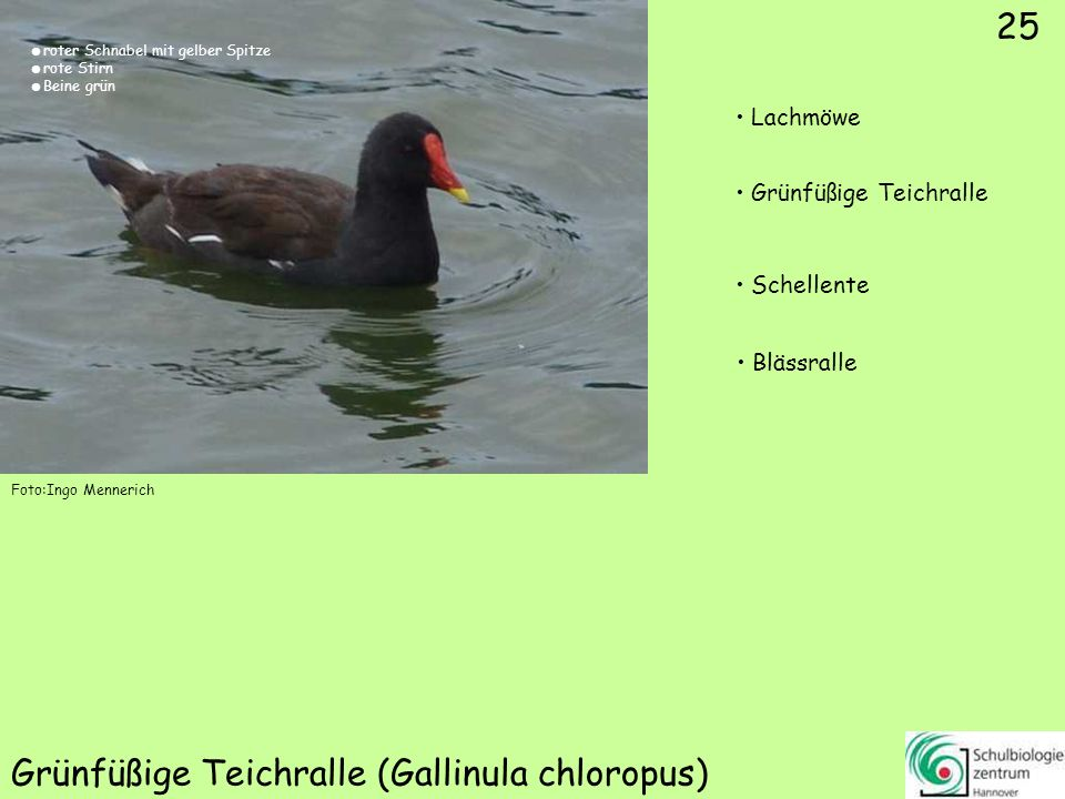 Sterntaucher (Gavia stellata)