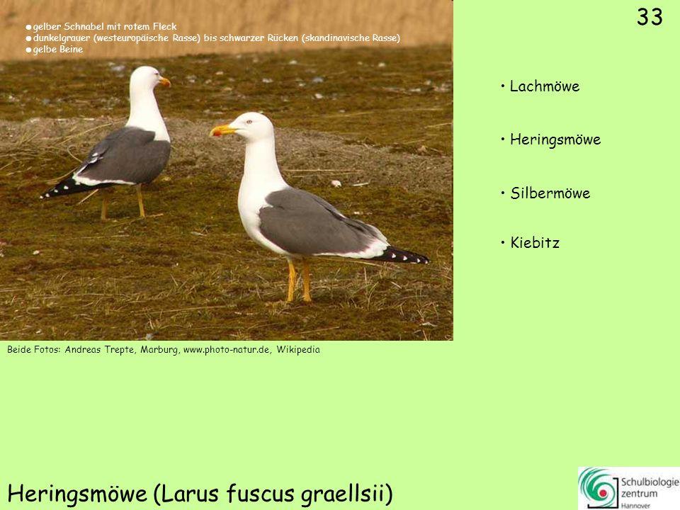 ♂ ♀ 34 Spießente (Anas acuta) Schellente Löffelente Pfeifente