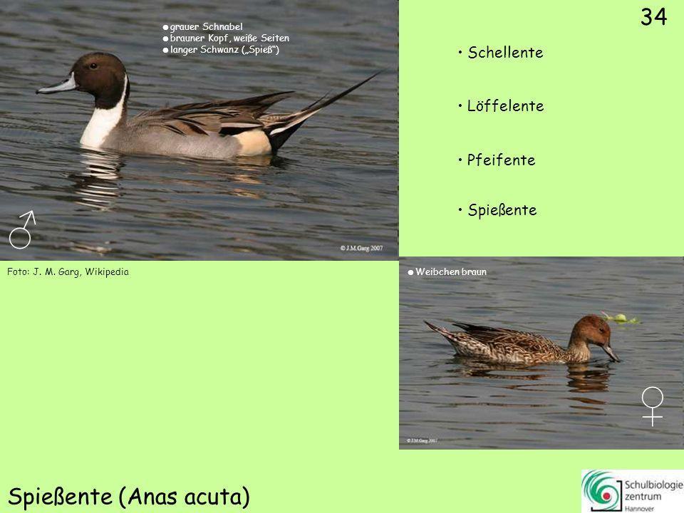 ♂ ♀ 35 Gänsesäger (Mergus merganser) Sterntaucher Blässralle