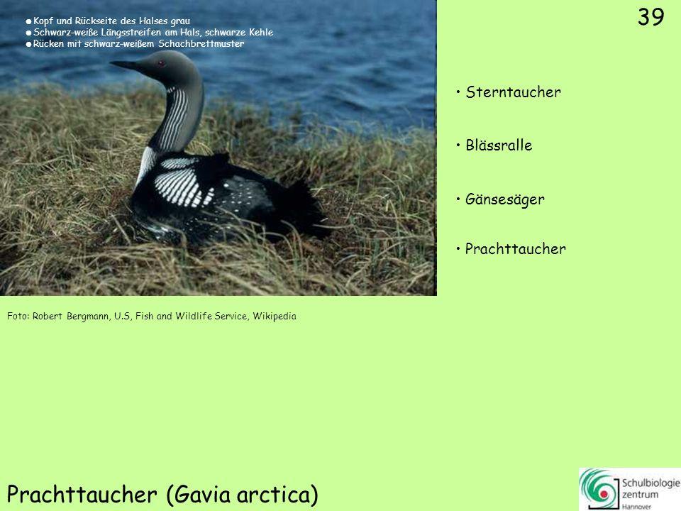 ♂ ♀ 40 Eisente (Clangula hyemalis) Spießente Pfeifente Eisente