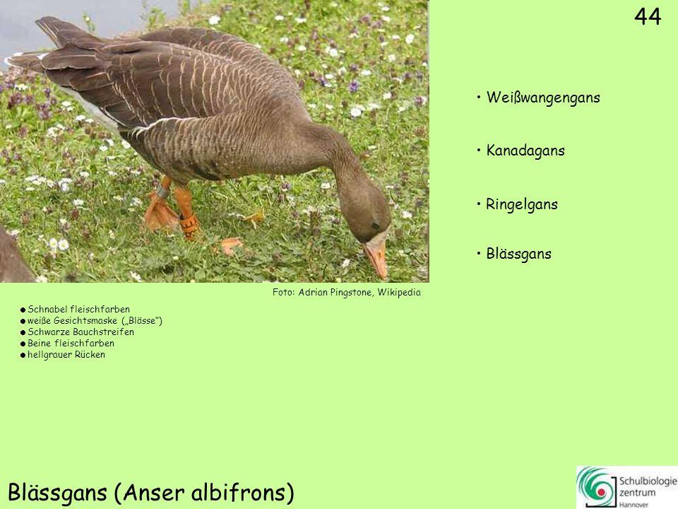 Singschwan (Cygnus cygnus)