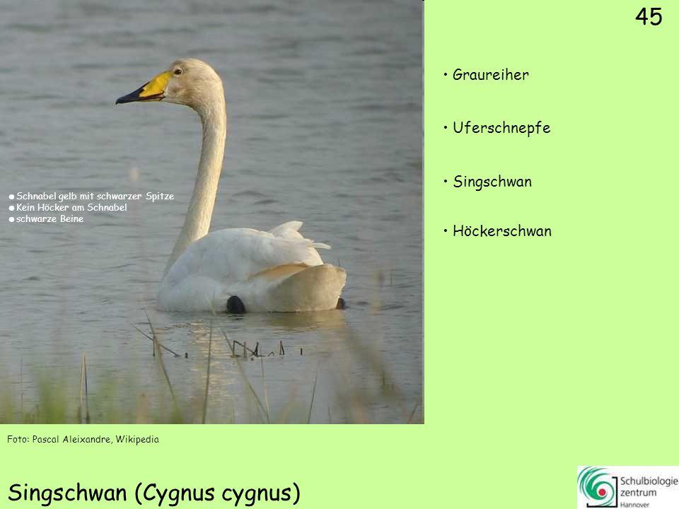 Sturmmöwe (Larus canus)