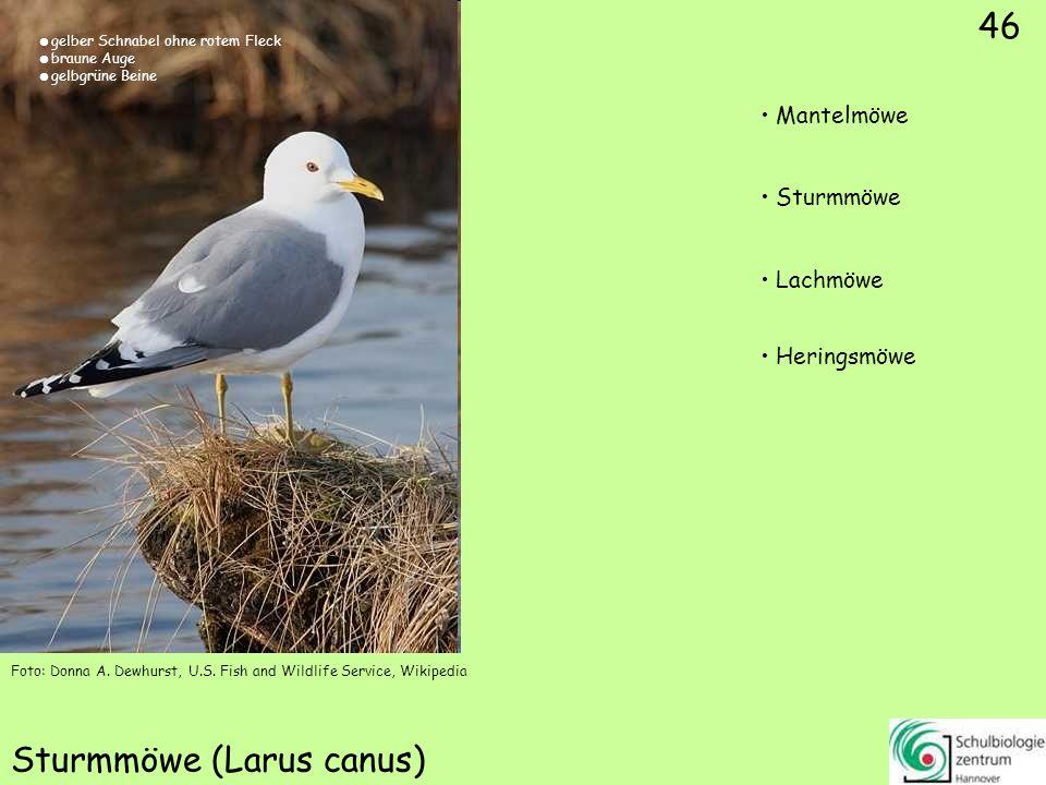 Dreizehenmöwe (Rissa tridactyla)