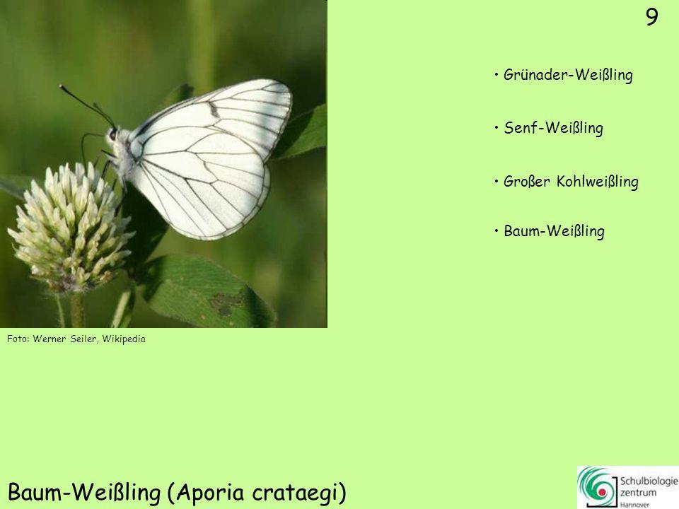 ♂ ♀ 10 Aurorafalter (Antocharis cardamines) Tagpfauenauge Kaisermantel