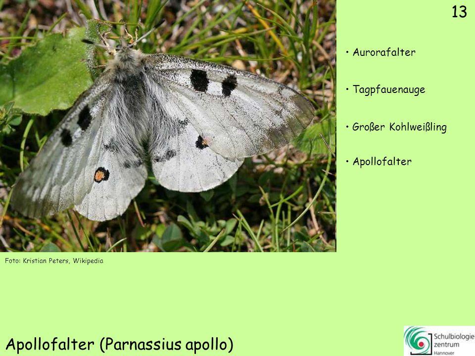 Schwarzer Apollo (Parnassius mnemosyne)