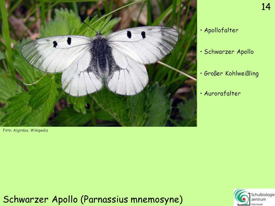 Reseda-Weißling (Pontia daplidice)