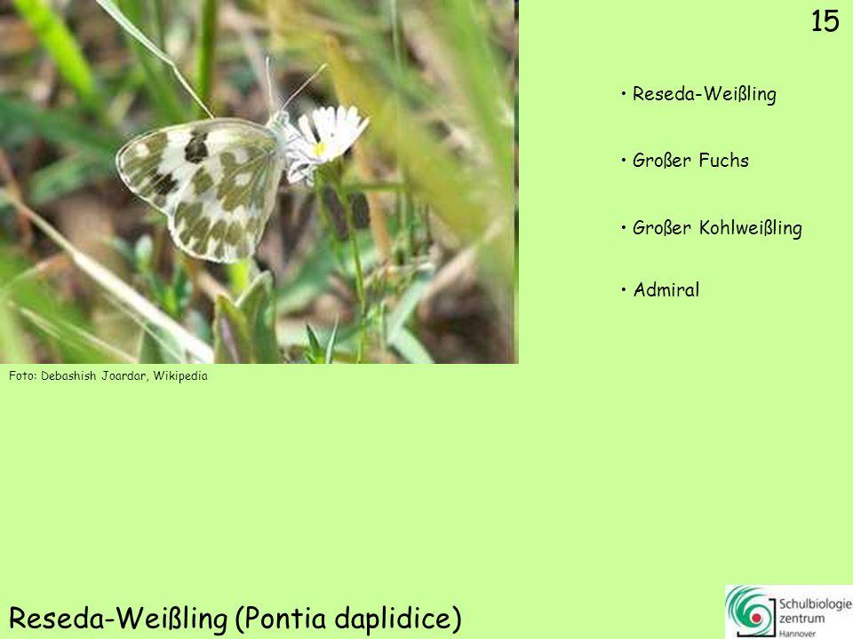 ♂ ♀ 16 Zitronenfalter (Gonepteryx rhamni) Kleiner Fuchs