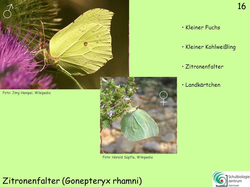 Hochalpen-Apollo (Parnassius phoebus)