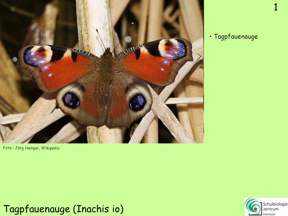 Kleiner Fuchs (Nymphalis urticae)
