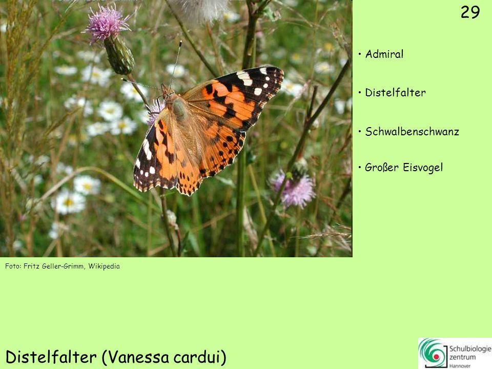 Großer Schillerfalter (Apatura iris)