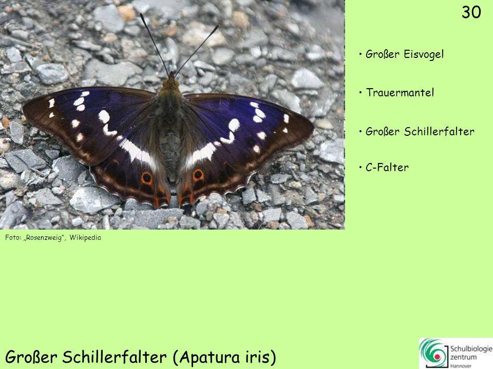 Kleiner Schillerfalter (Apatura ilia)