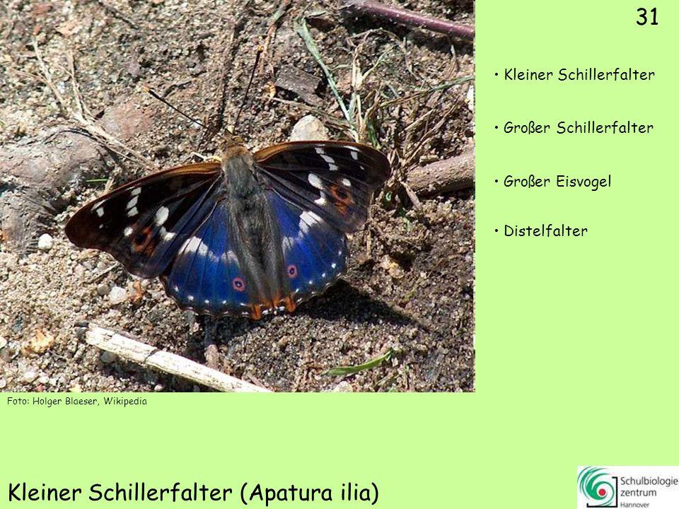 Hochmoor-Gelbling (Colias palaeno)