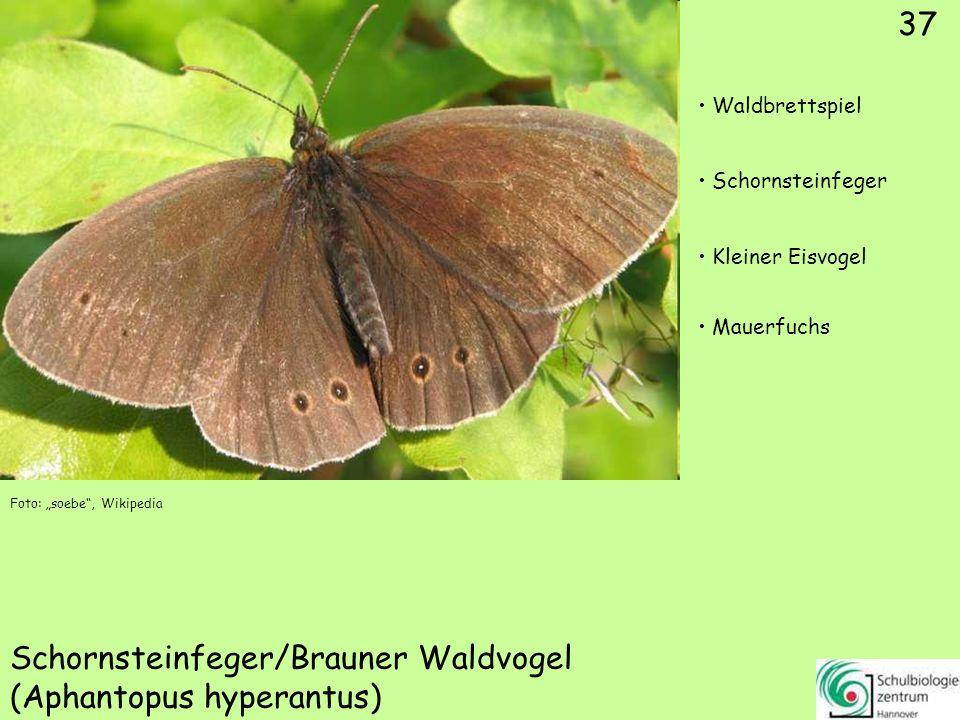Weißbindiger Mohrenfalter (Erebia ligea)