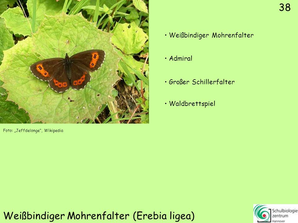 Früher-/Rundaugen-Mohrenfalter (Erebia medusa)