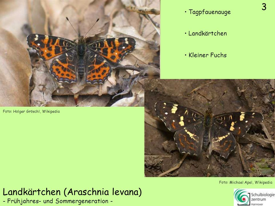 ♀ ♂ 4 Kaisermantel (Argynnis paphia) Tagpfauenauge Kleiner Fuchs