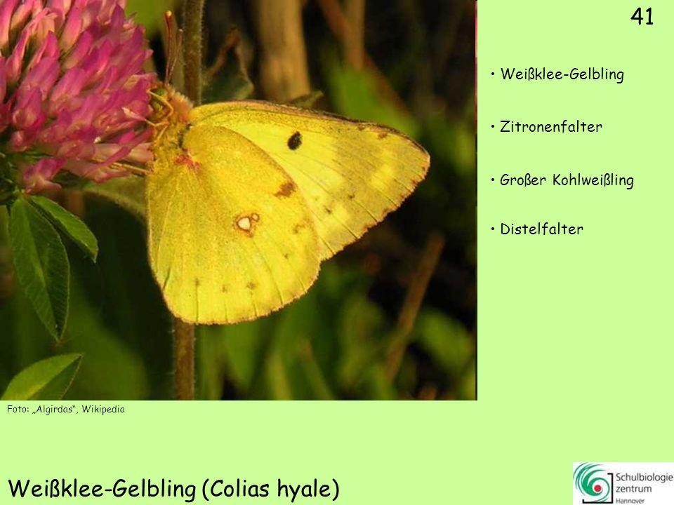 ♂ 42 Postillion (Colias croceus) Aurorafalter Postillon
