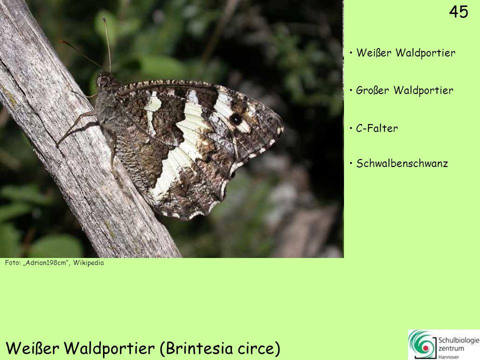 Rostbinde (Hipparchia semele)