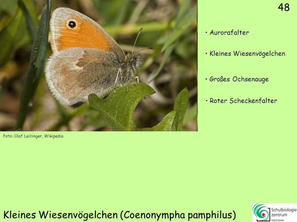 Weißbindiges Wiesenvögelchen (Coenonympha arcania)