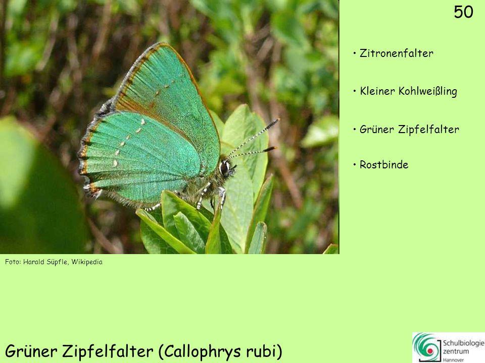 ♂ 51 Blauer Eichenzipfelfalter (Neozephyrus quercus)
