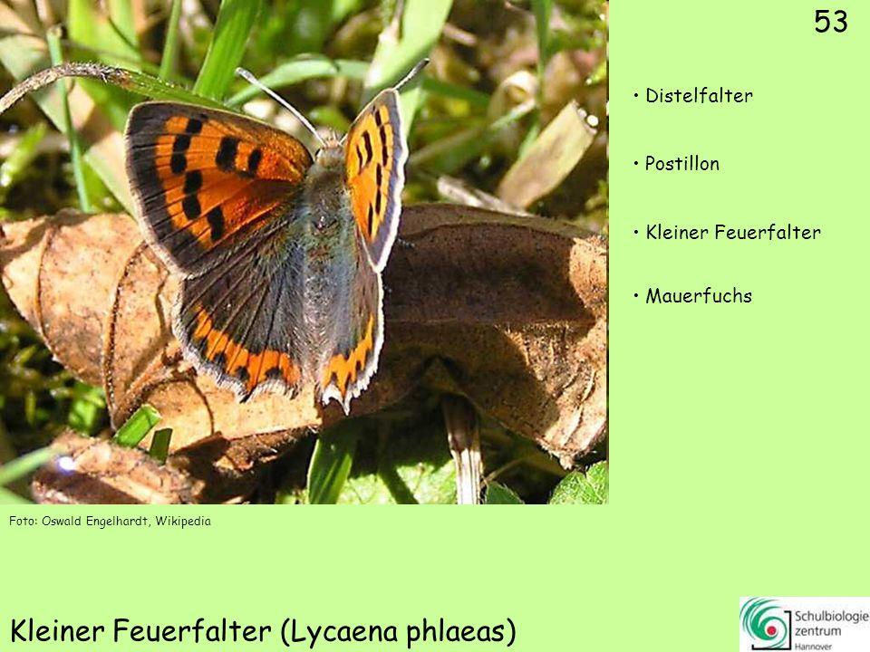 ♂ ♀ 54 Gemeiner Bläuling (Polyommatus icarus)