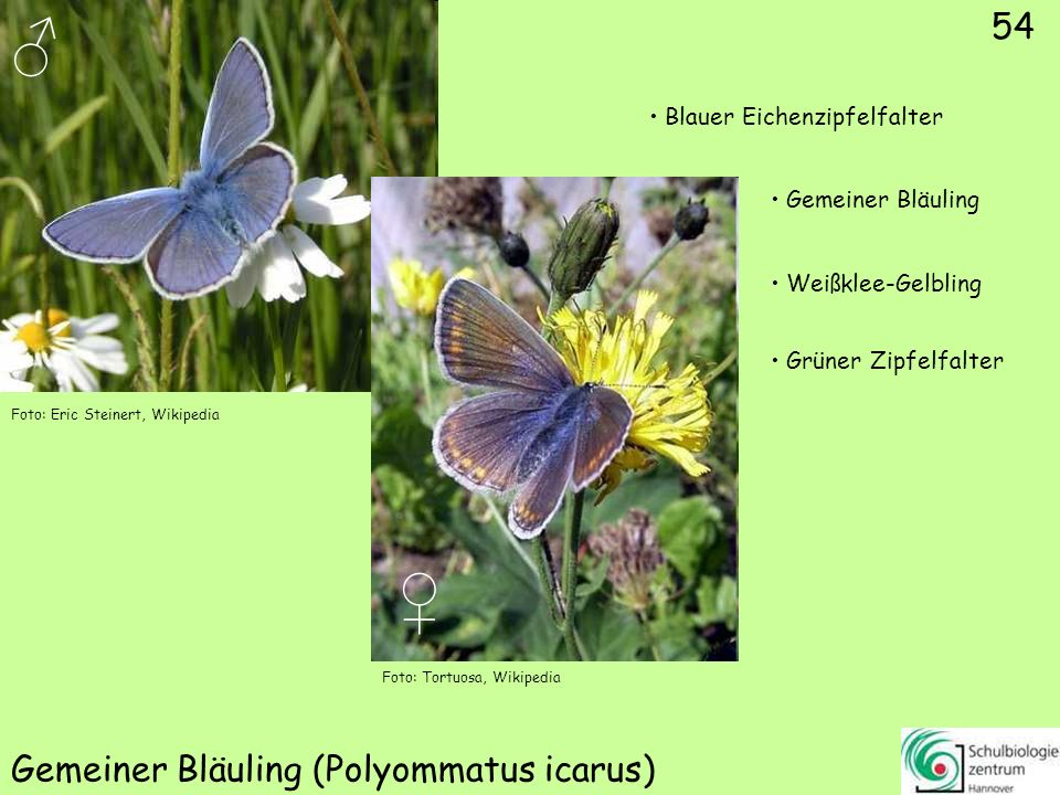 ♂ ♀ 55 Faulbaum-Bläuling (Celastrina argiolus) Gemeiner Bläuling