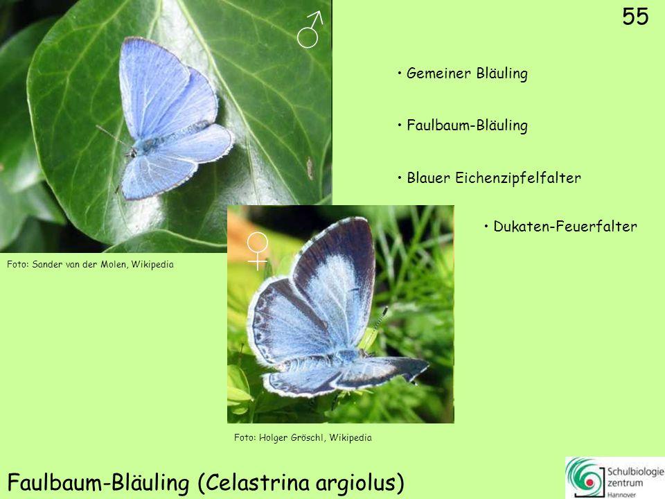 ♂ ♀ 56 Himmelblauer Bläuling (Polyommatus bellargus) Gemeiner Bläuling