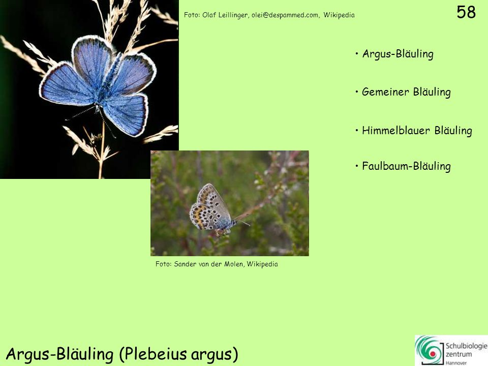 Thymian-Ameisenbläuling (Maculinea arion)