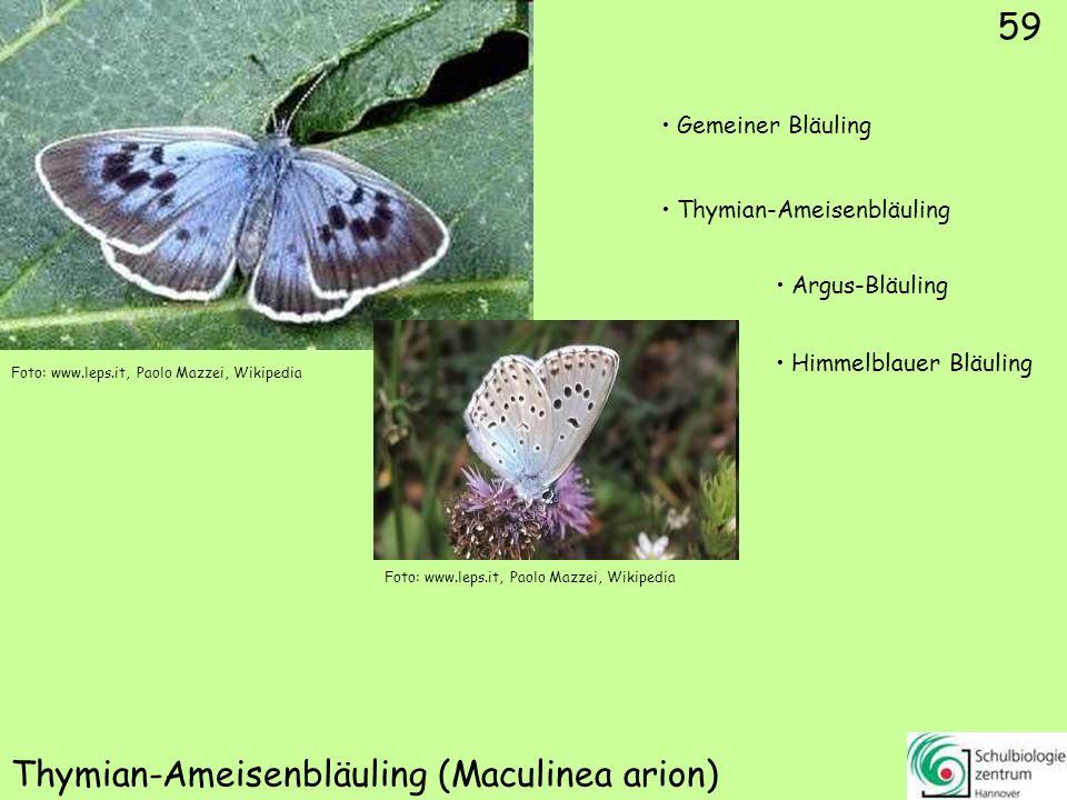 Birken-Zipfelfalter/Nierenfleck (Thecla betulae)