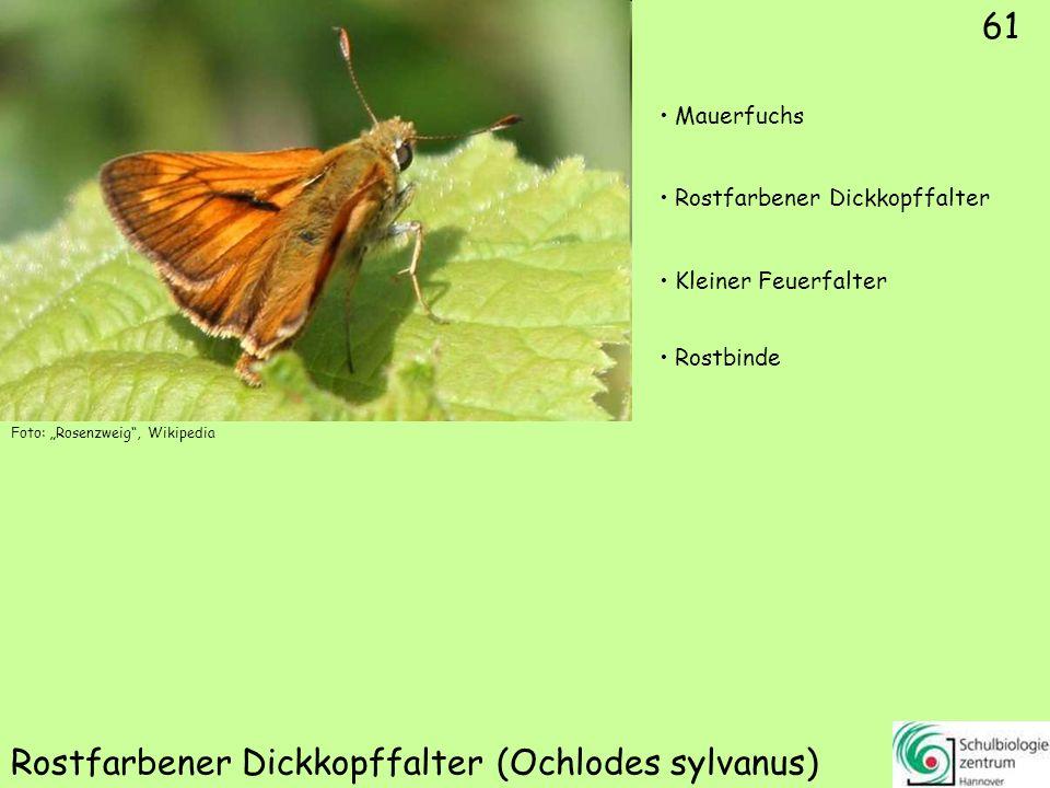 Komma-Dickkopffalter (Hesperia comma)