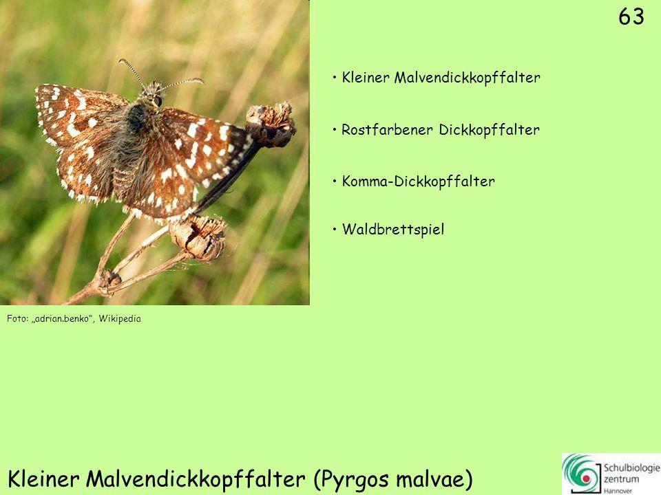 Gelbwürfeliger Dickkopffalter (Carterocephalus palaemon)