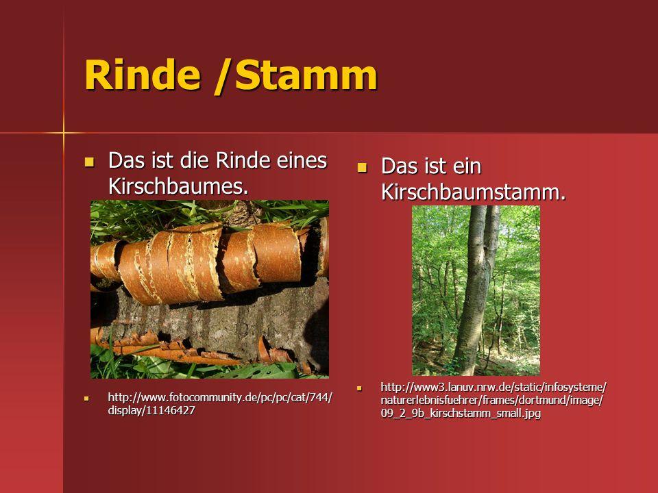 Rinde /Stamm Das ist die Rinde eines Kirschbaumes.
