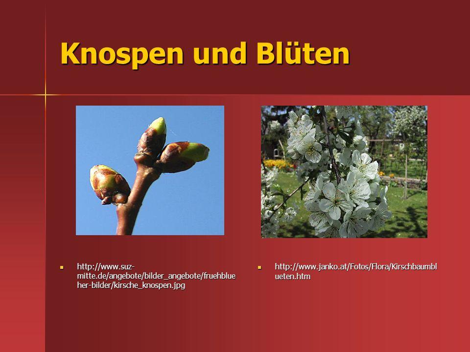 Knospen und Blüten http://www.suz-mitte.de/angebote/bilder_angebote/fruehblueher-bilder/kirsche_knospen.jpg.