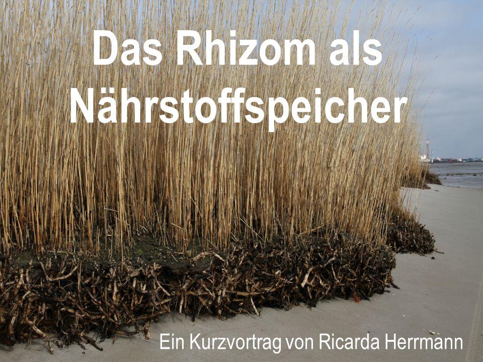 Das Rhizom als Nährstoffspeicher