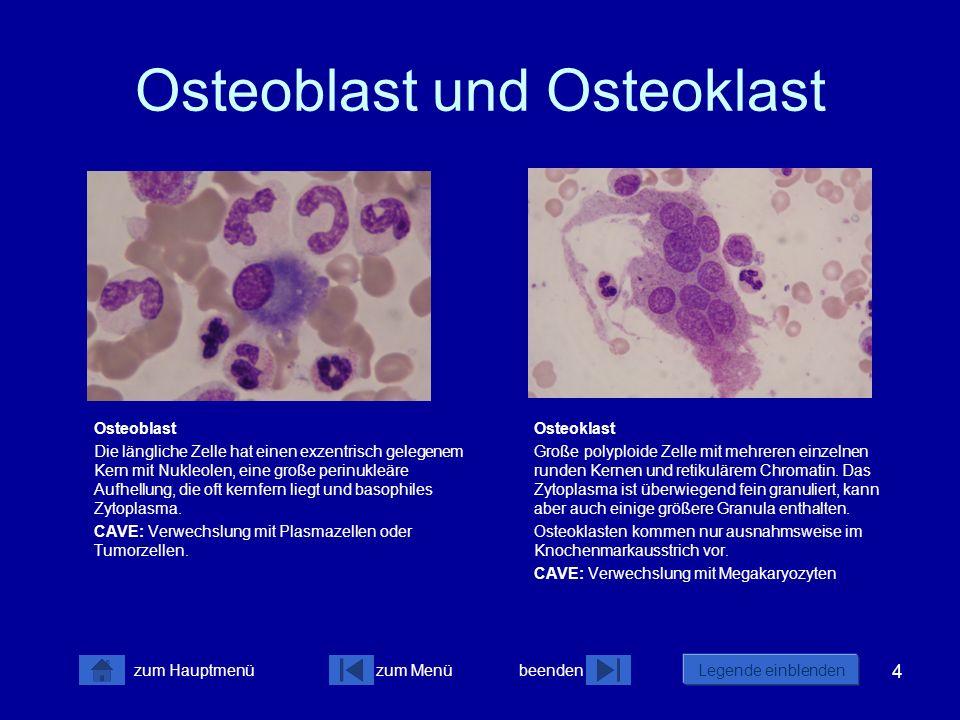 Osteoblast und Osteoklast