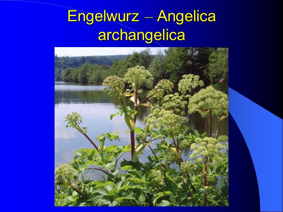 Engelwurz – Angelica archangelica